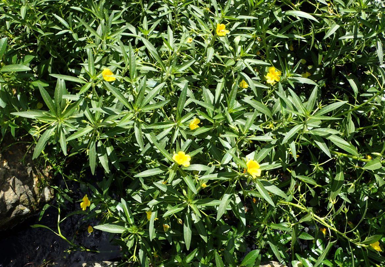 Ludwigia_grandiflora_kz1.jpg