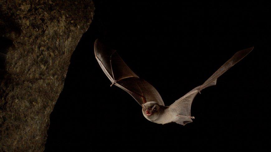 Scoperto uno dei più importanti siti di svernamento per pipistrelli in Lombardia