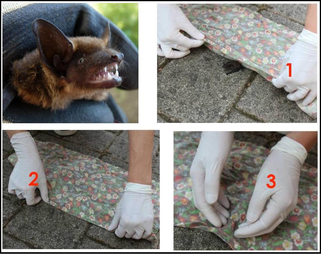 I custodi dei pipistrelli e cosa fare se trovi un pipistrello in difficoltà