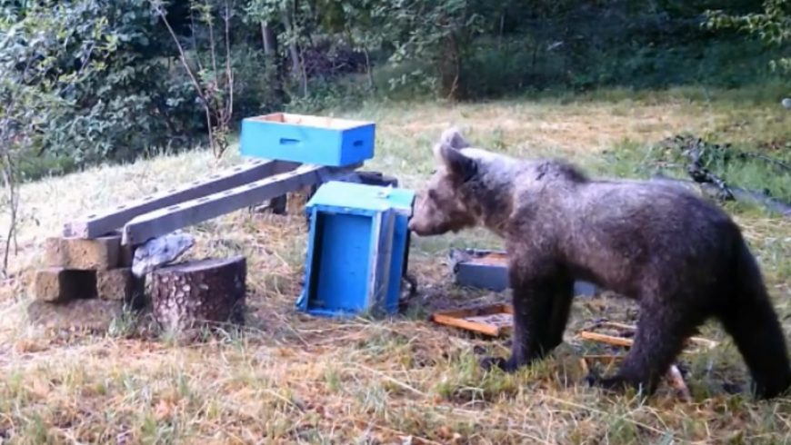 Un giovane orso nelle valli bresciane – il video della fototrappola