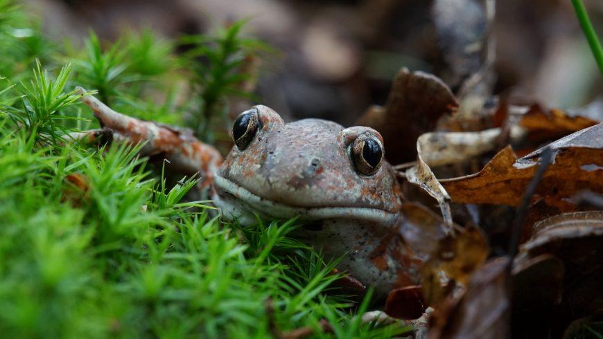 Bando LIFE per la tutela degli anfibi: 150.000 € per progetti di conservazione e miglioramento ambientale