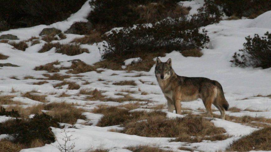 Convivenza lupo-uomo sulle Alpi – Al via il nuovo progetto europeo LIFE WolfAlps EU
