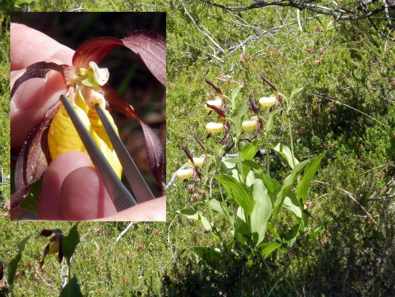 Impollinazione-di-Cypripedium-calceolus-foto-di-S.-Pierce.jpg