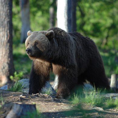 Come comportarci se incontriamo un orso o un lupo