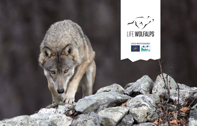 Life-Wolfalps-EU.jpg