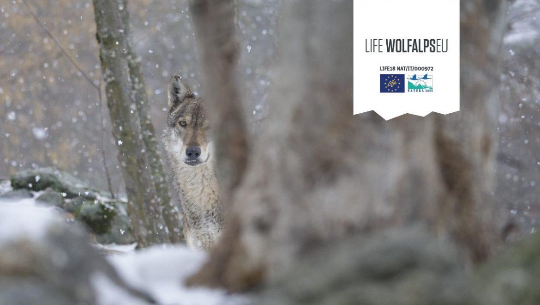 Migliorare la convivenza tra uomo e lupo: il progetto europeo Life Wolfalps EU
