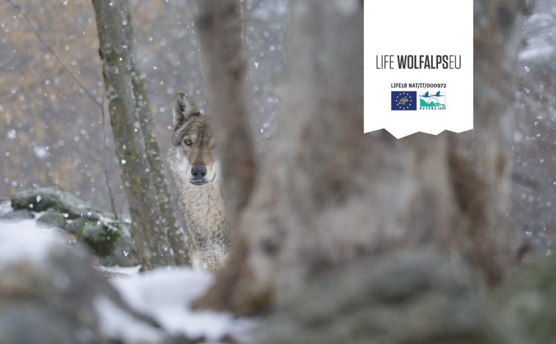 Life-Wolfalps-EU-new.jpg