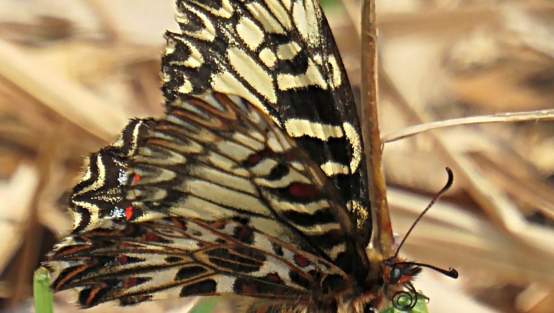 È primavera, osserviamo e segnaliamo gli insetti protetti della Lombardia